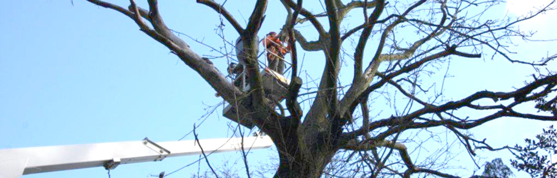 Tree surgeon performing work on a tree.